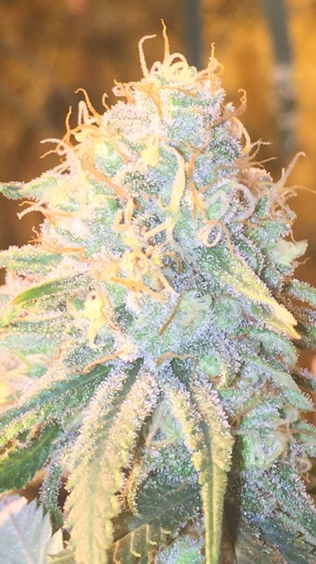 Truly is #Topshelf #Smokes and #dabs like candy &amp; makes awesome oil 25% #THC w/22% #CBD - it&#39;s a unicorn gift to the world im sharing....<br>http://pic.twitter.com/pXecclIQRx