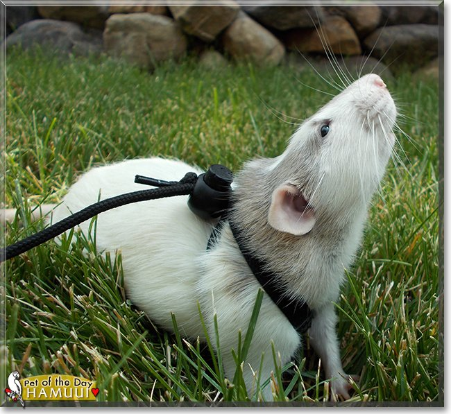 Thursday's Pet of the Day is #awesome Hamuui, a #Dumbo #Rat #love - talk of him  http:// petoftheday.com/talk/showthrea d.php?t=188937 &nbsp; …  #petoftheday #pets<br>http://pic.twitter.com/AvqrCbRvmJ