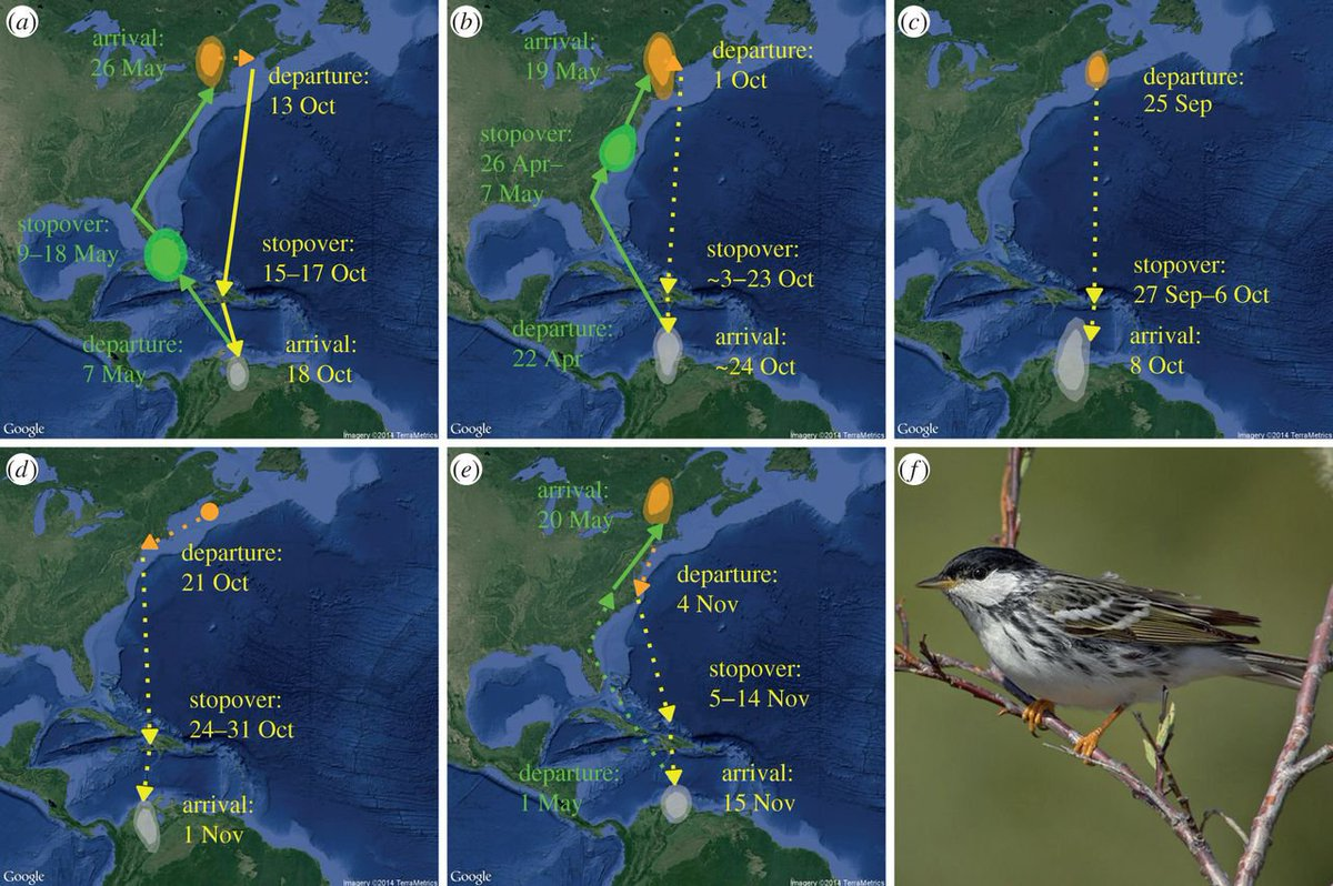 Our work on Blackpoll Warbler migration is featured in this great essay.  https:// blog.nature.org/science/2017/0 9/21/ocean-flyway-surprising-open-water-routes-songbird-migrations/ &nbsp; …  #ornithology #migration<br>http://pic.twitter.com/wSxIB6ZtWt
