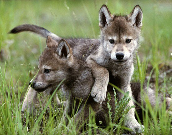 OUTRAGEOUS! Stop #Trump from allowing killing of baby #wolves &amp; bears on National #Wildlife Refuges in #Alaska:  http:// bit.ly/2r5cDMg  &nbsp;  <br>http://pic.twitter.com/u13OVBplUj