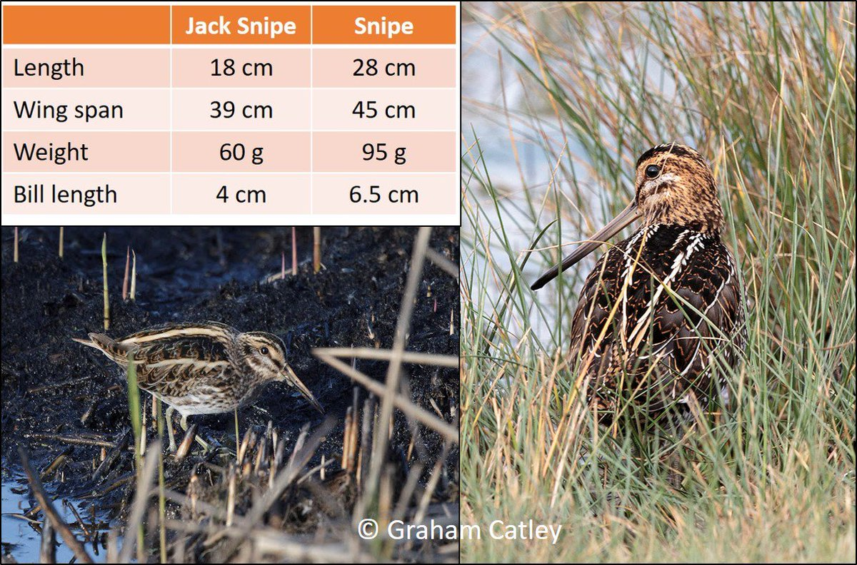 In the last year, 1500 people have read this blog about Snipe &amp; Jack Snipe. Thanks for the retweets.  https:// wadertales.wordpress.com/2016/09/20/sni pe-jack-snipe-in-the-united-kingdom/ &nbsp; …  #ornithology <br>http://pic.twitter.com/LNKJzeI9WH