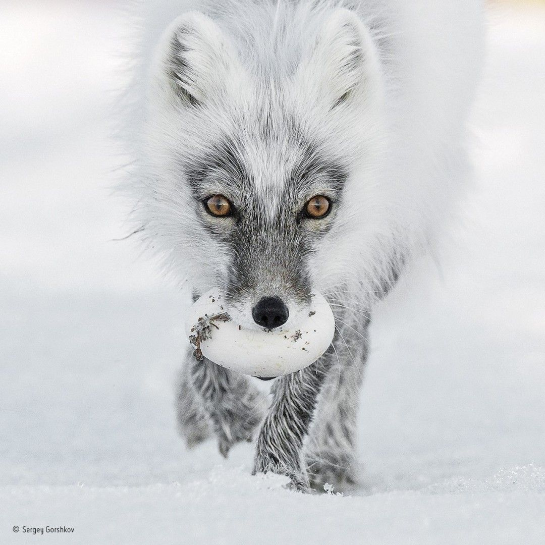 Mesmerising images from #Wildlife Photographer of the Year  https:// buff.ly/2feLgvn  &nbsp;  <br>http://pic.twitter.com/UyGYnTmHyI