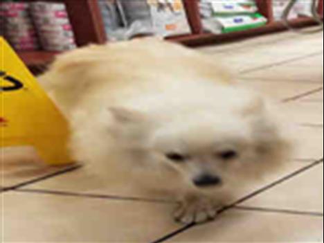 #RATHBURN #RENFORTH Pls RT2unite #FOUND #DOG-9/18 #Toronto Animal Services A786010 #PUBLIC L&amp;F 416-338-7297 Tan/wht #Pomeranianmix F/?Age<br>http://pic.twitter.com/Oaf4k7kqyi