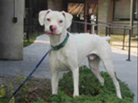 Pls RT2unite #FOUND #DOG-9/18 #Toronto Animal Services A768245 #EAST 416-338-7539 White #Boxer #DogoArgentino M/11Mth<br>http://pic.twitter.com/ZloMfX8cwF
