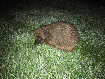 Hedgehog in our garden again @ARGroupsUK @DanTurner989 @emzoticofficial #hedgehog #garden <br>http://pic.twitter.com/YKz8Opafmk
