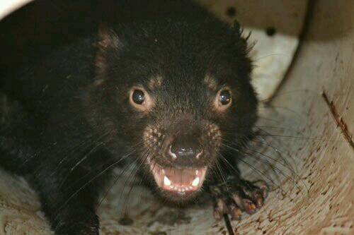 Tasmanian devils are #endangered by a bizarre #cancer, but #scientists and the devils themselves are fighting back.   http:// ow.ly/ZLsj30fjAaF  &nbsp;   <br>http://pic.twitter.com/fa4X5IPTV3