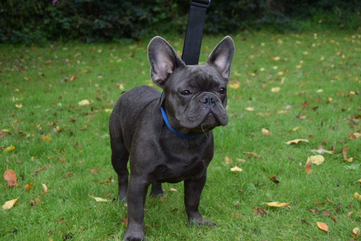 Beautiful Blue French Bulldog #Dogs #FrenchBulldog #ForSale #DogsForSale #pets #ukpets   https:// goo.gl/iUFjdi  &nbsp;  <br>http://pic.twitter.com/p8f9D1oyA6