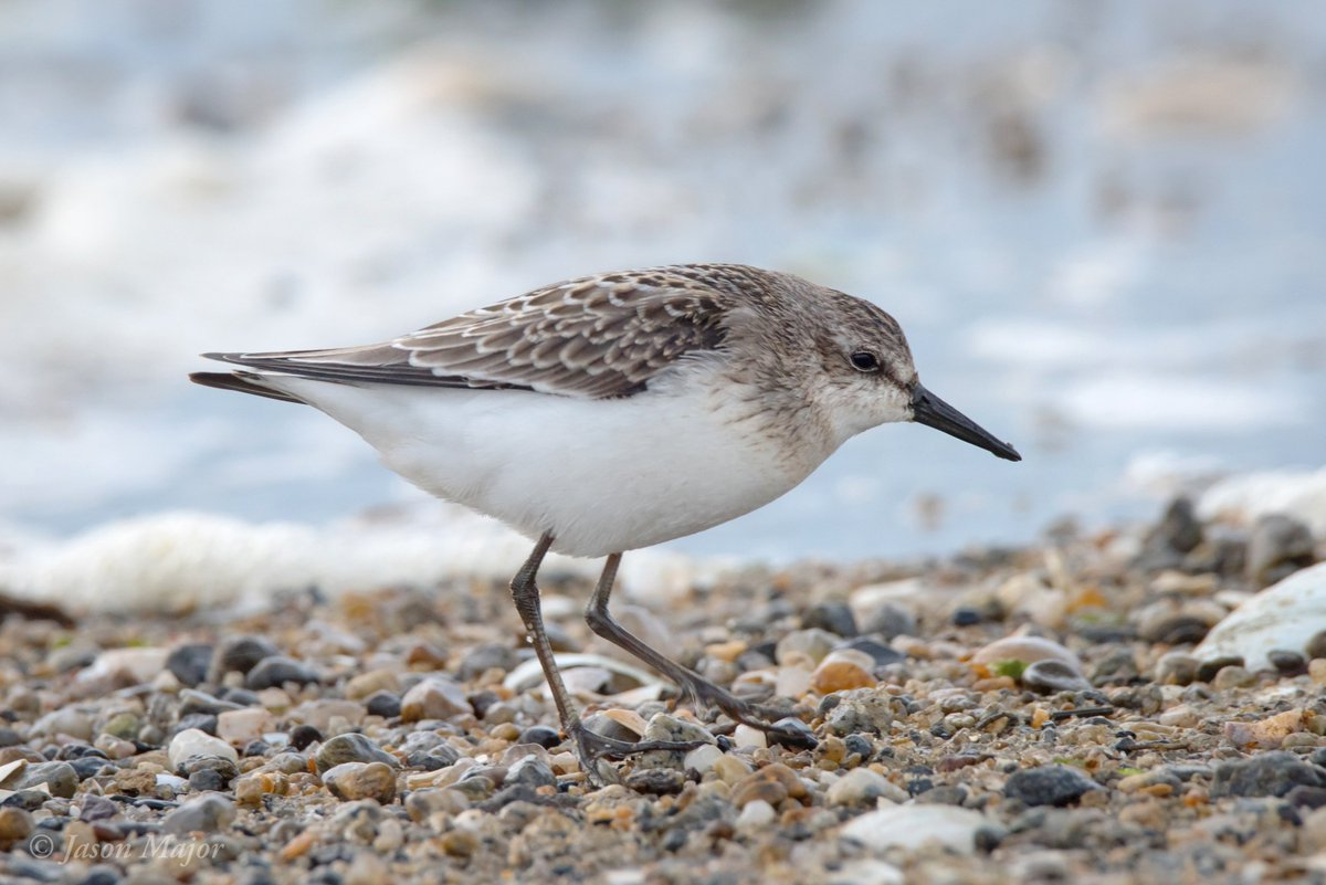 Semipalmated Sandpiper at Conimicut Point in Warwick, #RI. You can see the &quot;semipalm&quot; webbing here! #birds @audubonsociety<br>http://pic.twitter.com/FA75PhEw0y
