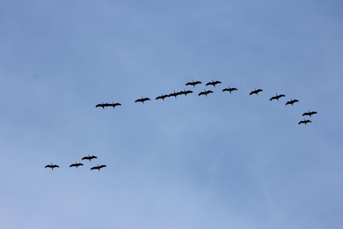 Hearing lots of reports Sandhill Crane waves over central #Alberta today. Look + listen for them tomorrow - should be a great show. #birds <br>http://pic.twitter.com/oJ1nl8pf7L