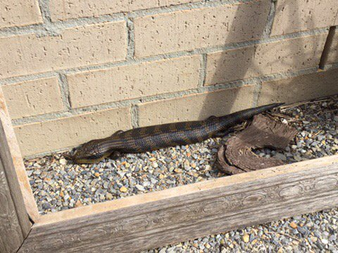 Surely I can now call this #urban @WildMelbourne blue-tongue #lizard a pet now. She&#39;s not bothered by us too much.<br>http://pic.twitter.com/pRXCH4zioN