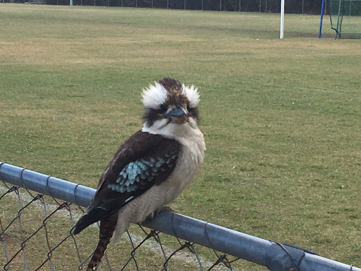 Young kookaburra on the oval fence, as cool as they come. #birdlife <br>http://pic.twitter.com/GeMyosAoT3