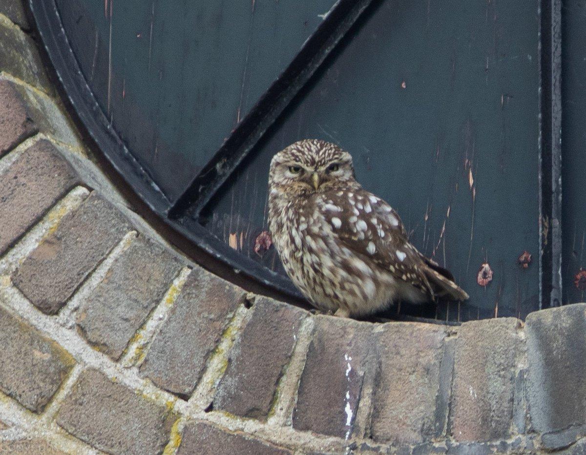 Steenuil, Little Owl, #birds <br>http://pic.twitter.com/ArVfai17YX