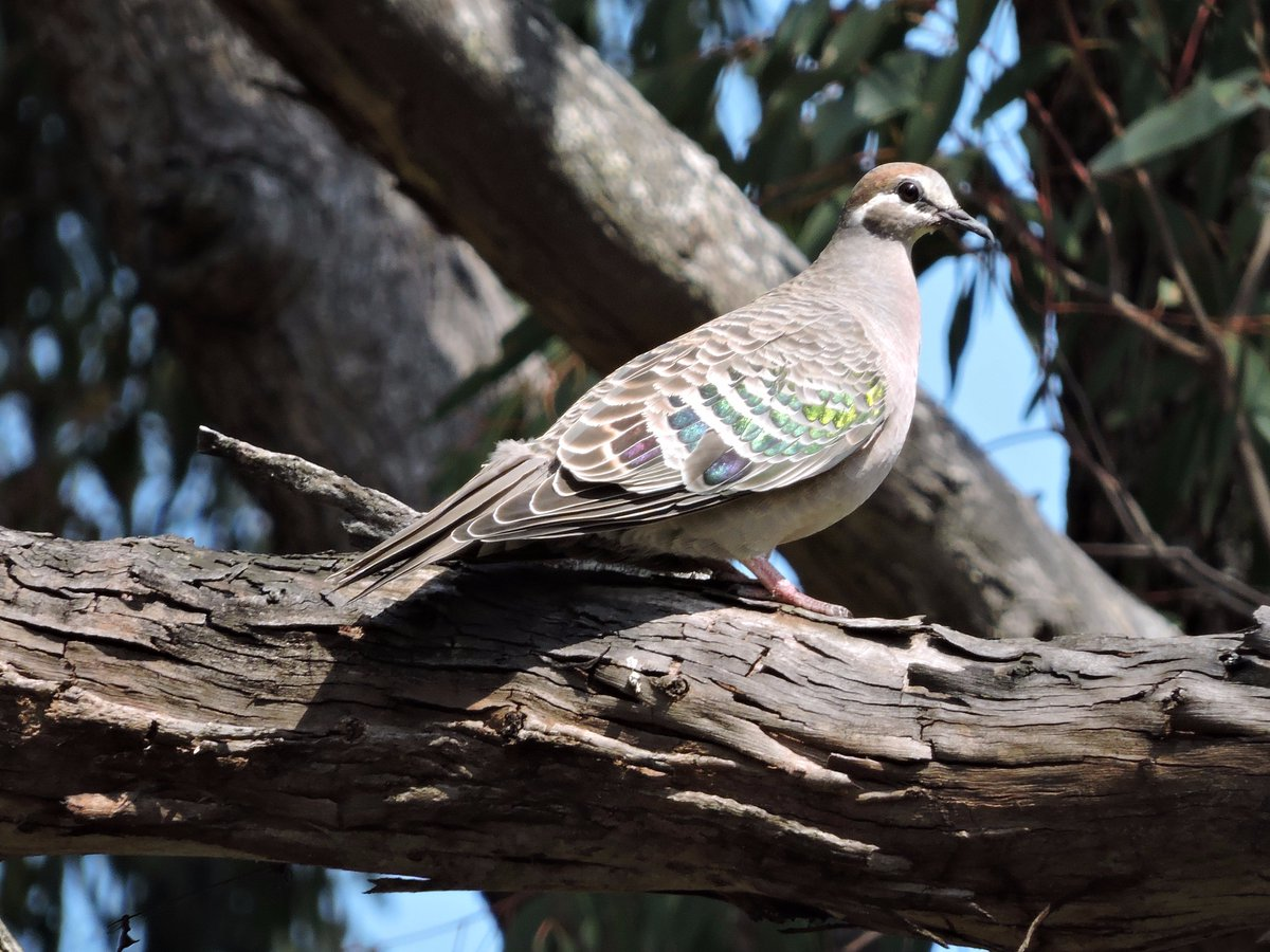 Common Bronzewing at Clarkesdale this afternoon #birds #WildOz<br>http://pic.twitter.com/yooKdTSVGF