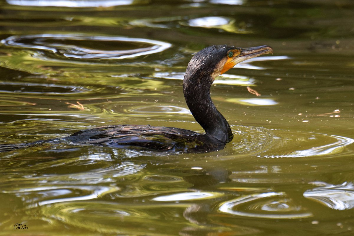 Great Cormorant #birds #wildlife <br>http://pic.twitter.com/V0bQbiOoHK