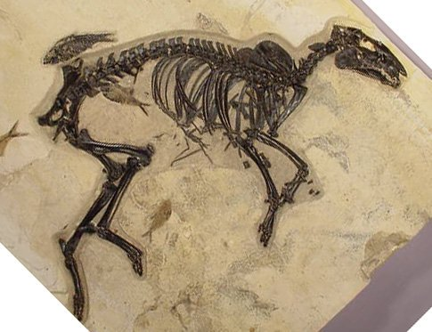 The little horse, Hyracotherium (or is it Protorohippus now ?) from the Green River (Eocene).  See our 2008 book, Chpt 11. #horses <br>http://pic.twitter.com/haJXTKAnBE