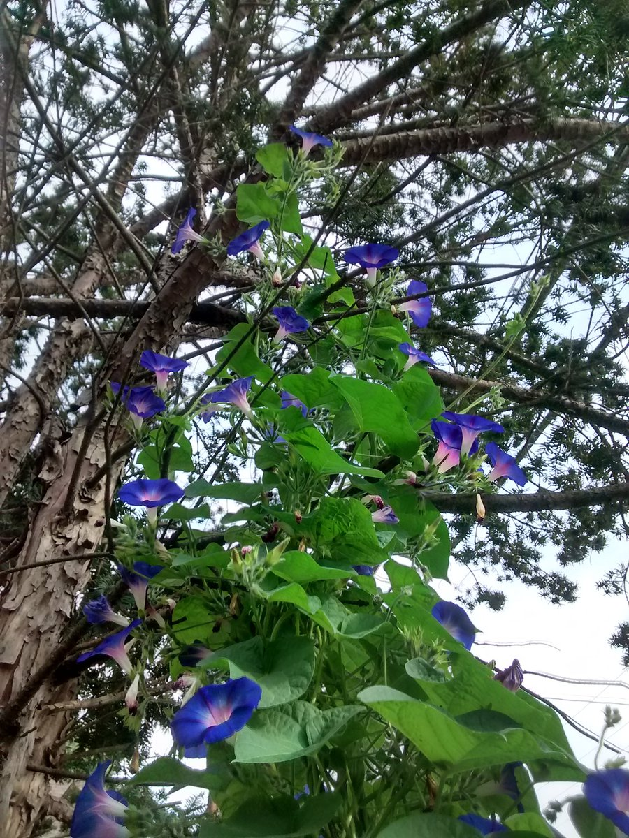 Today&#39;s show of Morning Glories #Gardenchat #gardening #FirstDayofFall<br>http://pic.twitter.com/6TfhfPMo6f