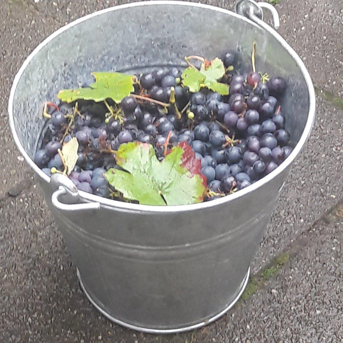 Het is een absurd goed druivenjaar!