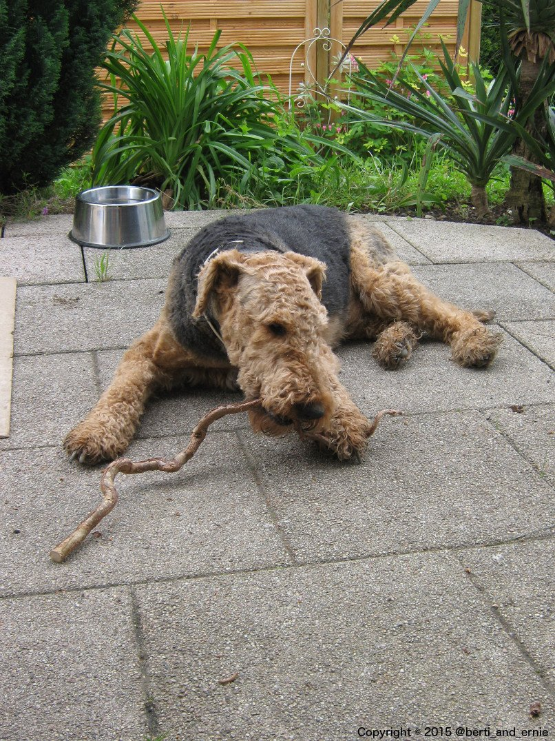 My #Airedale at #home eating some &quot;tasty&quot; sticks... Maybe his way to brush his teeth. <br>http://pic.twitter.com/XZj0DDk7Fv