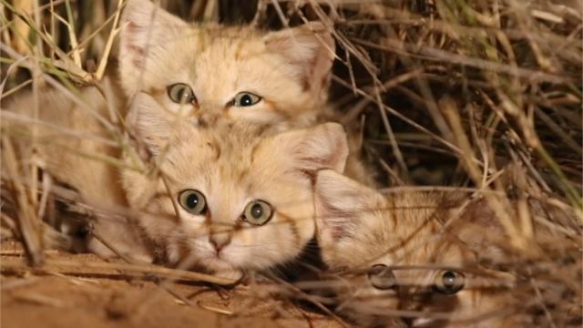 VIDEO. Trois chatons des sables filmés pour la première fois dans le Sahara https://t.co/Q45oqaIpfQ https://t.co/HKqYMzO5OD