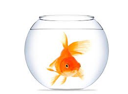 BREAKING: Goldfish Forgets Escape Plan Again  MORE FAKE NEWS:  http:// thenewdaily.com.au/news/national/ 2017/09/22/ferguson-report-donald-trump/ &nbsp; …  #fish #goldfish #Auspol #uspoli <br>http://pic.twitter.com/B1DquOqrZK