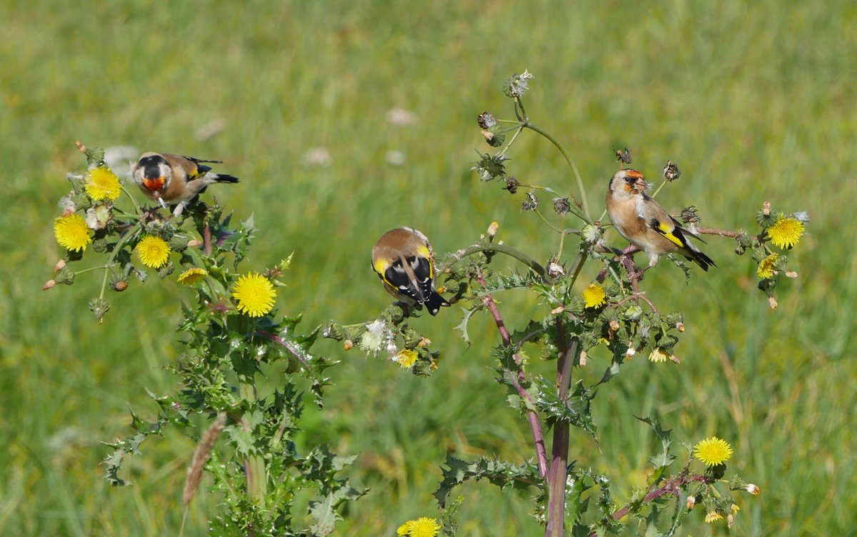Hope the weather picks up  @stmartinsscilly for more wildlife pics like yesterday #Goldfinches @ScillyWildlife<br>http://pic.twitter.com/ZZtRUYJ4vQ