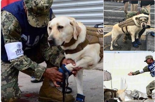 Frida, is #Mexico&#39;s Best Friend. Frida has found 52 people in Collapsed Buildings in Mexico City due to the Earthquake. <br>http://pic.twitter.com/2zCFugOs0j