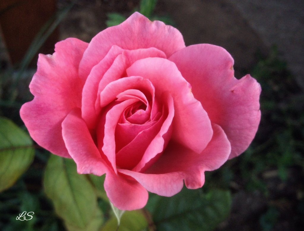 Still a rose in bloom in the first Autumn day #garden #flower <br>http://pic.twitter.com/AVYWH3gcIY