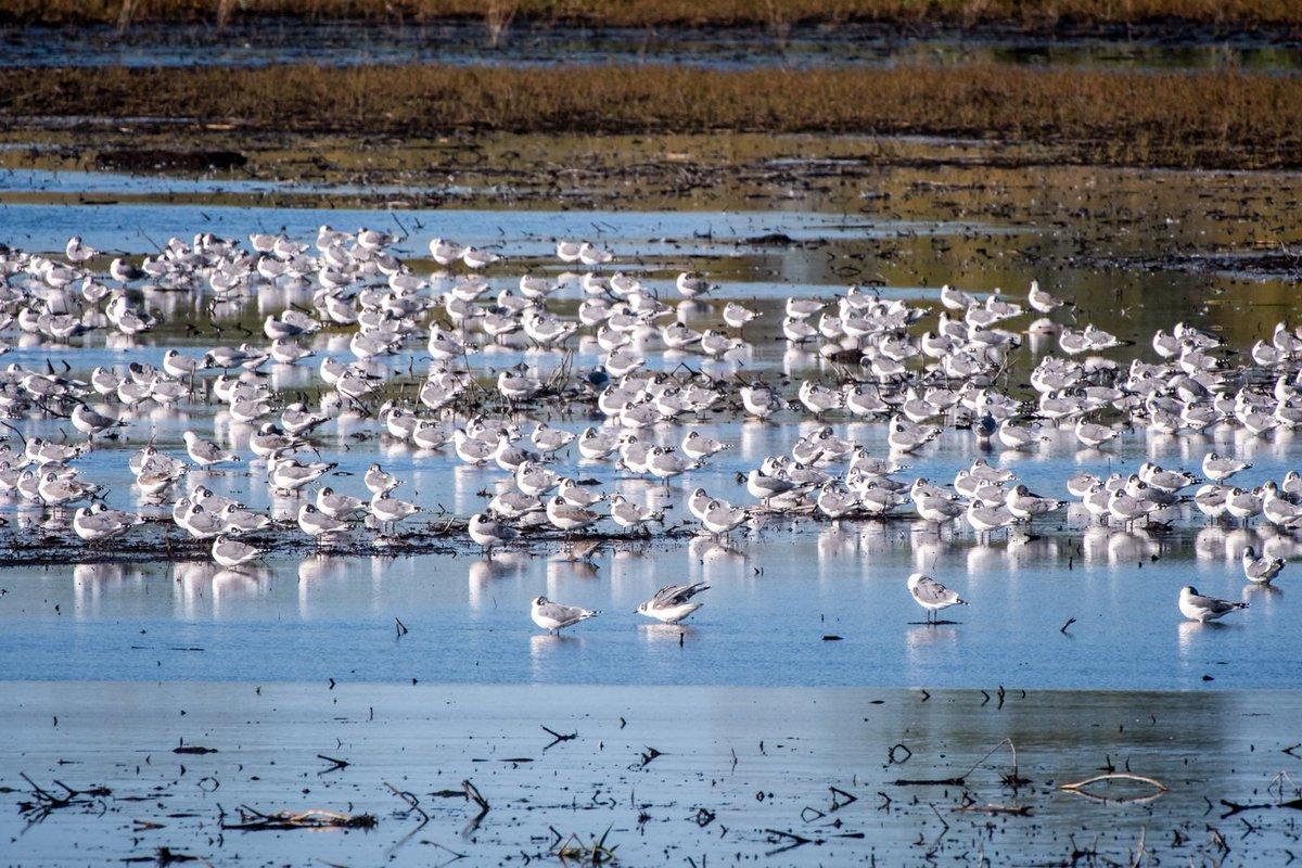 A big flock of Franklin&#39;s #gulls taking a break from the brisk wind, Sand Lake, South Dakota. #birds #birding<br>http://pic.twitter.com/dlTtOeBV1R