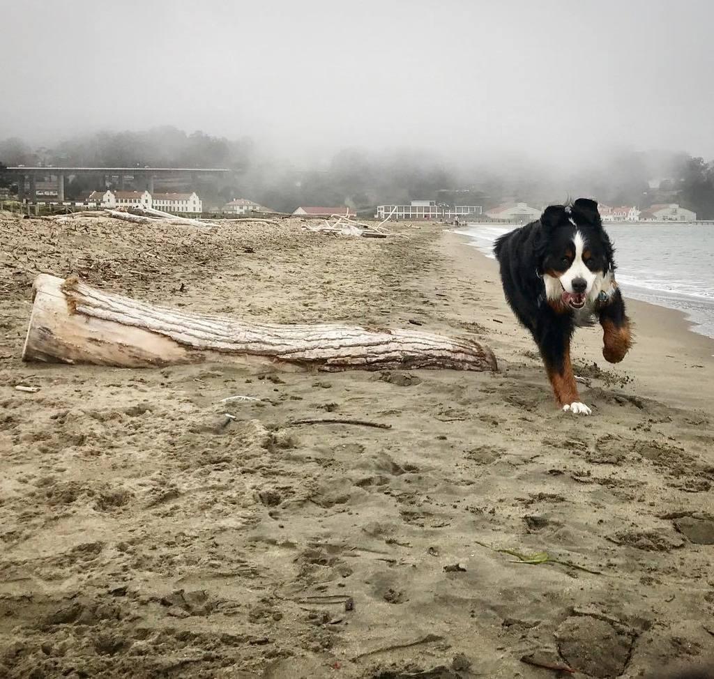 Just Mack! #bernesemountaindog  http:// ift.tt/2fpWoJn  &nbsp;  <br>http://pic.twitter.com/zV9soHcl13