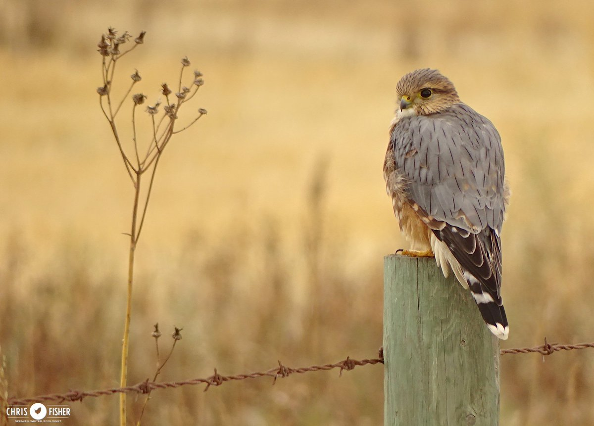 Our summer #hawks have all but left town - fortunately we still have a few falcons like this male Merlin filtering through #Alberta #birds <br>http://pic.twitter.com/VRSwQMQaa3