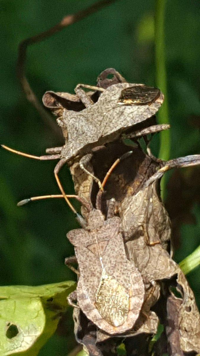 Coreus marginatus  #Coreusmarginatus  On my allotment... using magnifier app on mobile.  Love these critters.  #truebugs