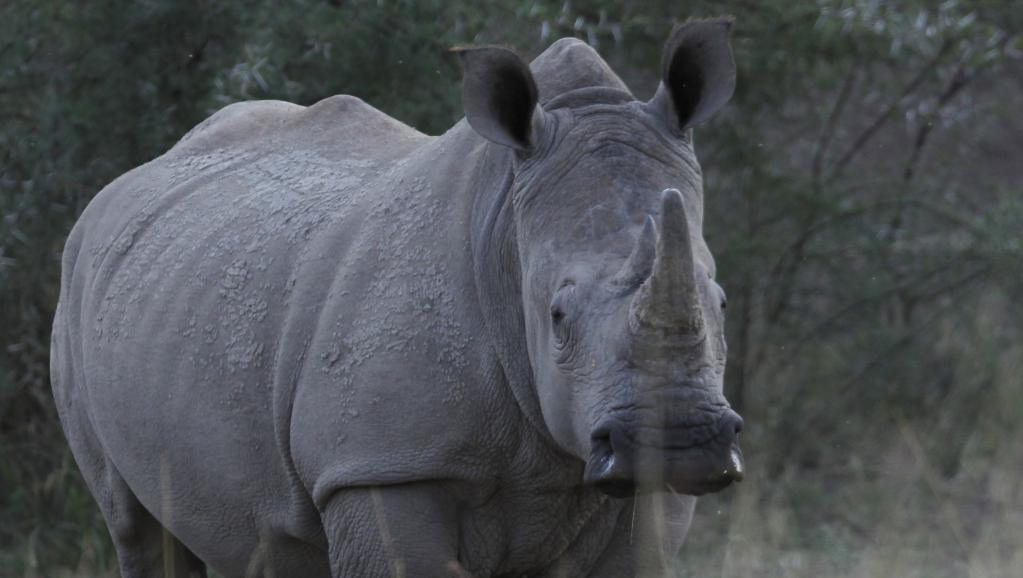 Afrique du Sud: les nouvelles formes du trafic de cornes de rhinocéros https://t.co/vpzJs9ojIL