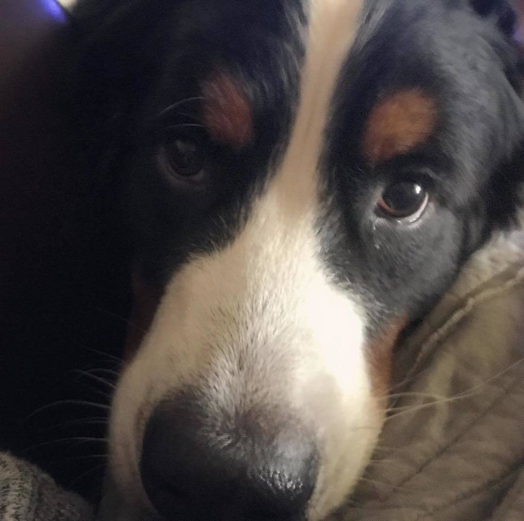 Love me #WaffleWatch #BerneseMountainDog #dogs_of_instagram #dogsofinstaworld #berner #FacilityDog #TherapyDog #in…  http:// ift.tt/2xuQpJv  &nbsp;  <br>http://pic.twitter.com/T7PHbEN21U