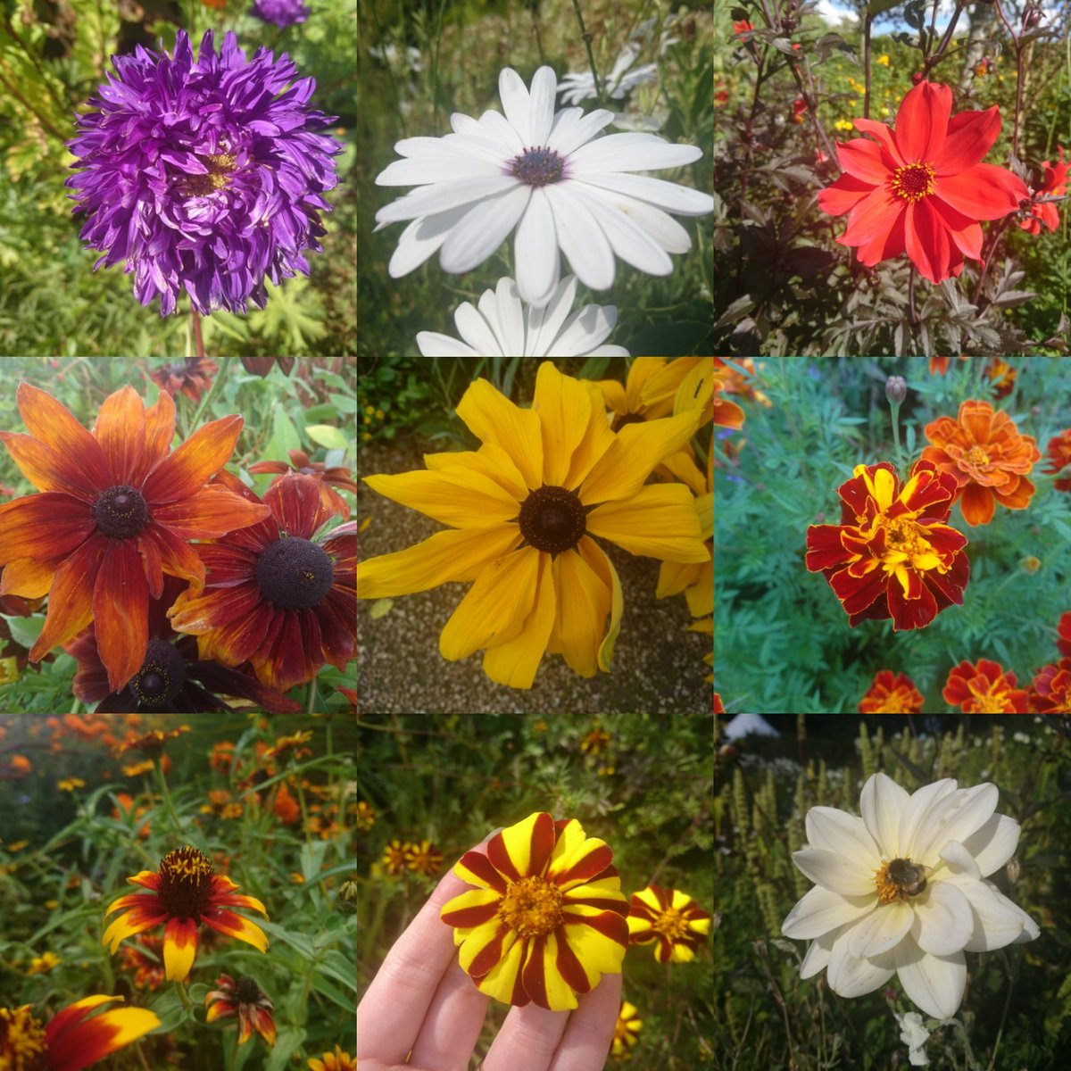 RT @SLeguil It's all about daisies at the moment in @LoseleyPark...from the first asters, to colourful dahlias, bright marigolds and autumnal rudbeckias