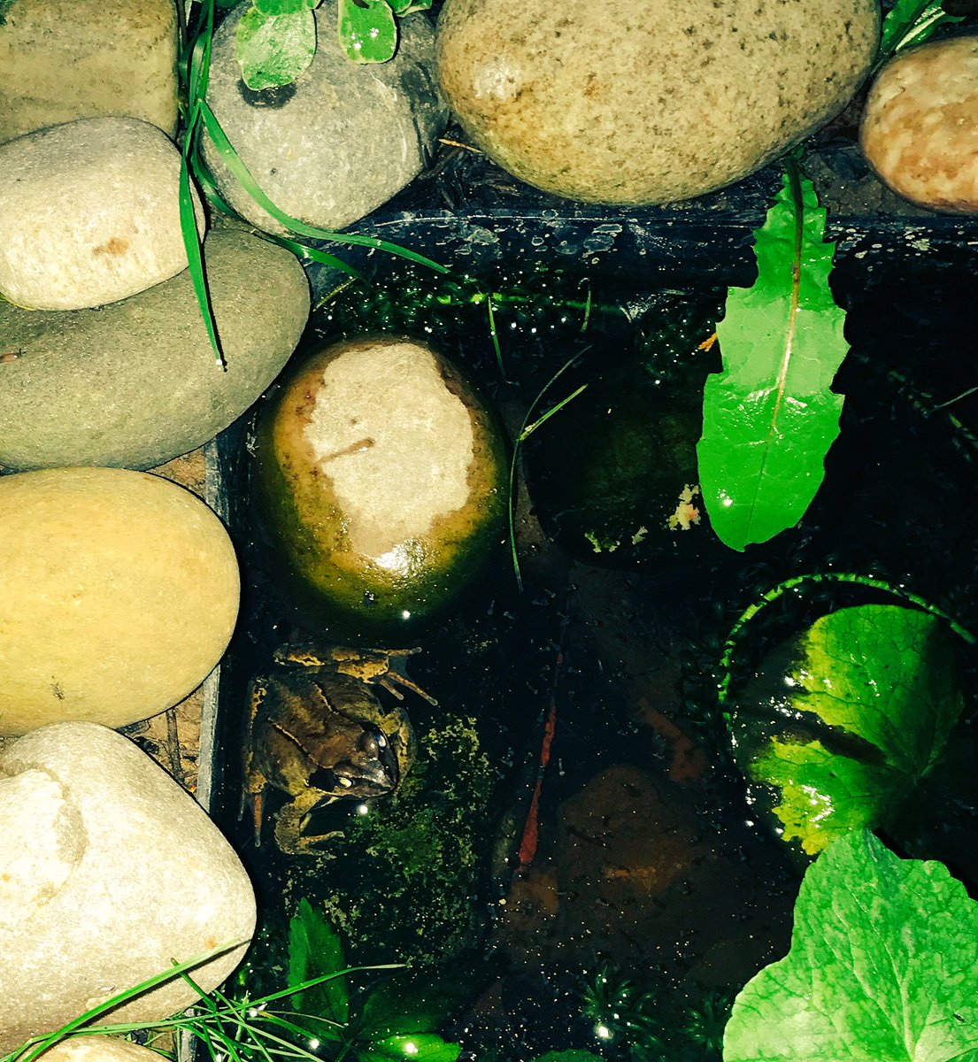 And there he is  #frog resident frog in our washing up bowl pond @Natures_Voice @Britnatureguide @BBCSpringwatch @BBCCountryfile up for air<br>http://pic.twitter.com/zZceM6O4th
