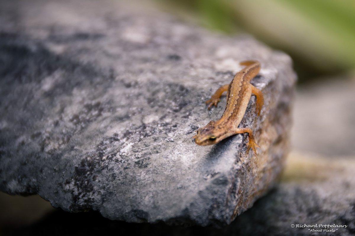 Dat de #natuur @OPVoornePutten met deze Salamander op bezoek bijzonder is. Komt zelfs op de hand laten zien hoe gezond hij is. Mooi toch?