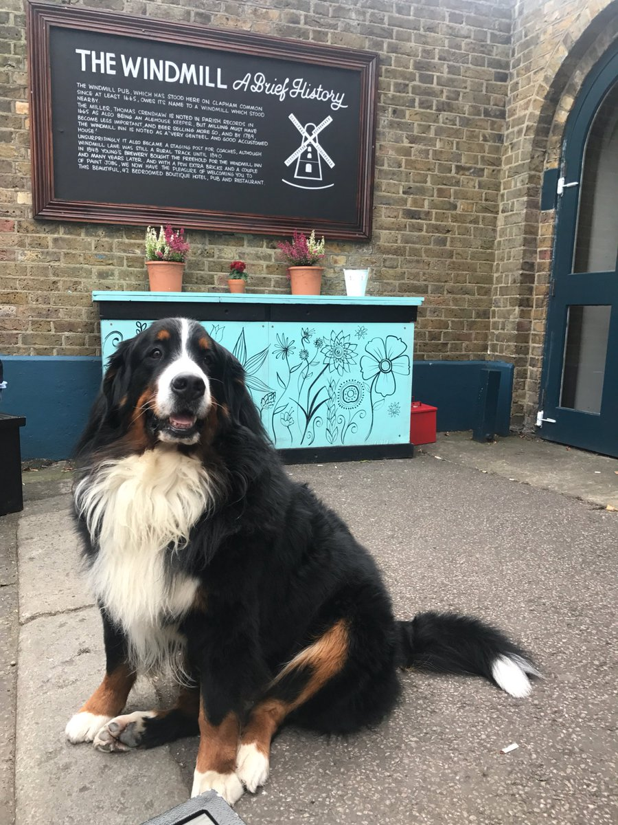 Just chilling with the customers @WindmillClapham #bernesemountaindog <br>http://pic.twitter.com/ouBDqlgZA0