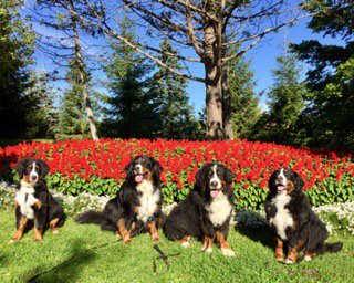 Happiness is.... fun in the sun with bffs.   #bernesemountaindog <br>http://pic.twitter.com/mFrrUJuJqf