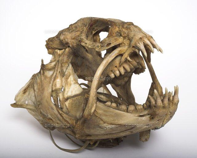 オオカミウオの頭骨、そこらのハリウッド怪物よりよっぽど異形を極めてる