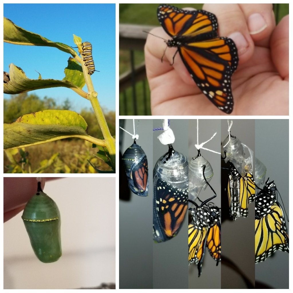 These #monarchs will live 8x longer &amp; travel 10x farther.  #LongRoadHome #supergeneration #migration <br>http://pic.twitter.com/oabf2GVeAJ