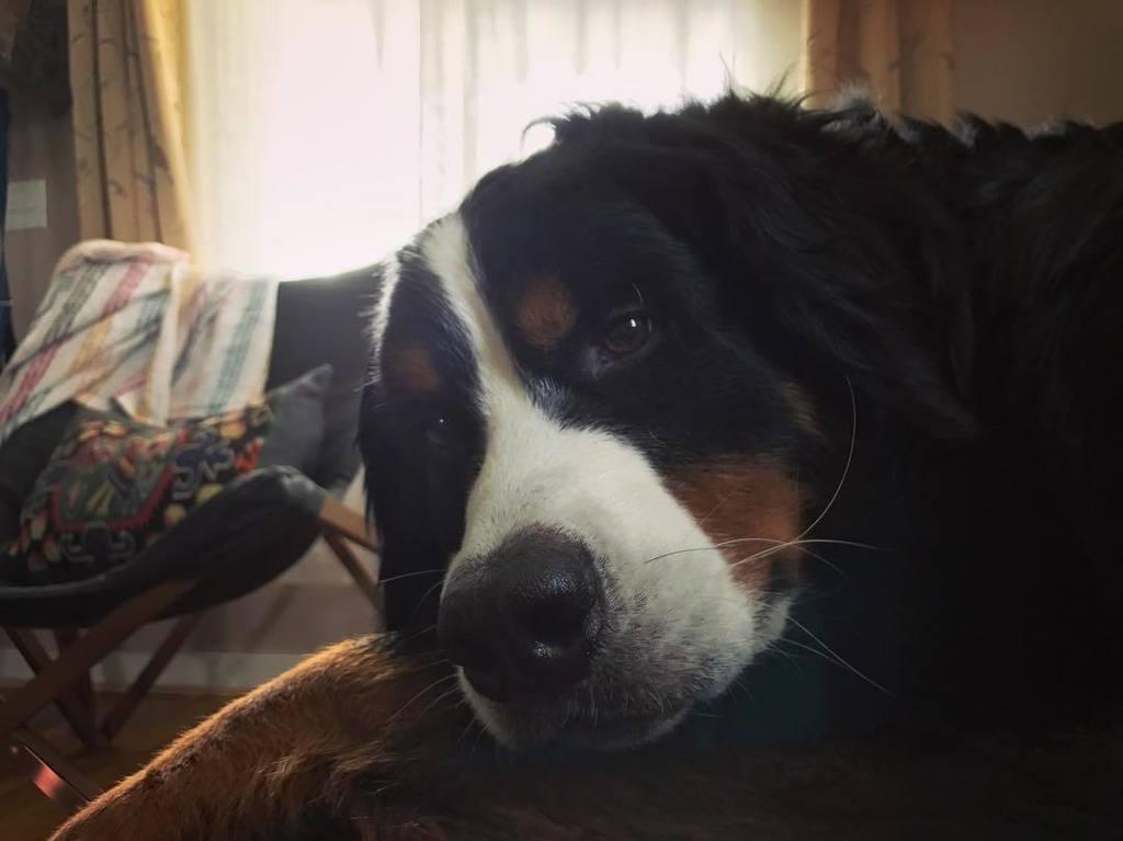 Not awake yet #WaffleWatch #BerneseMountainDog #dogs_of_instagram #dogsofinstaworld #berner #FacilityDog #TherapyD…  http:// ift.tt/2xmNqUe  &nbsp;  <br>http://pic.twitter.com/mz1eDewTRs