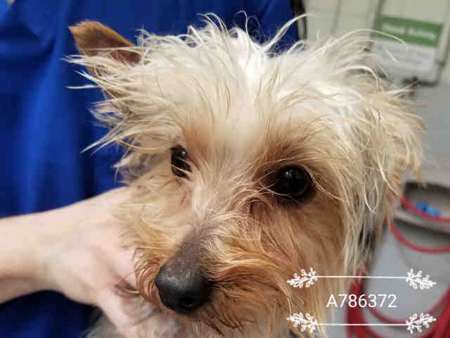 #WILLOWDALE #FINCH Pls RT2unite #FOUND #DOG-9/21 #Toronto Animal Services A786372 #NORTH 416-338-8723 Tan/gry #Yorkshire Terrier M/6Mth <br>http://pic.twitter.com/It9HQRxFke