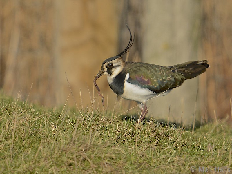 #Lapwing...Another #beautiful #morning out there, I hope you all #enjoy your #day.<br>http://pic.twitter.com/oGFSaOjZlz
