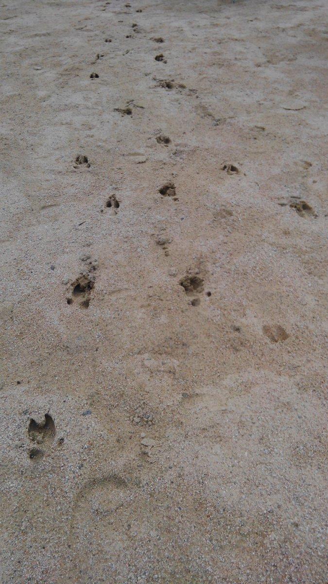 イノシシ 足跡