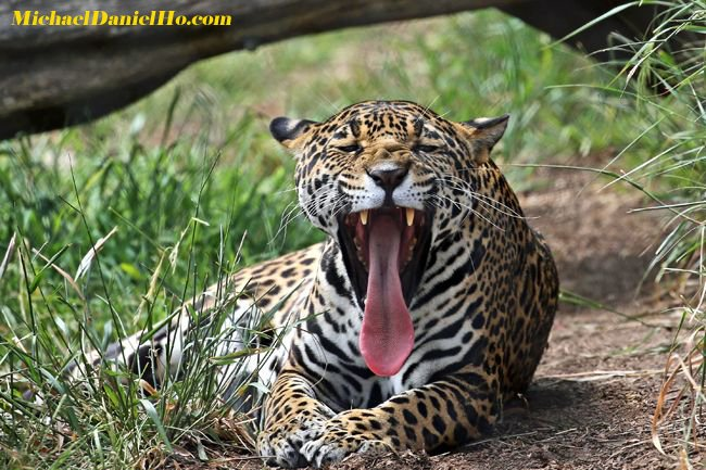 #Jaguars  answer to #WhiteHouse comments. #AMJoy #SundayMorning #NFL<br>http://pic.twitter.com/qsaFcdPaDH