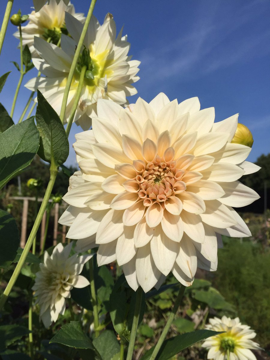 #Dahlias looking mighty fine in the autumn sunshine.  Cafe au lait &amp; Souvenir d&#39;ete.  #dahlialove #dahliawars #dazzlingdahlias #allotment <br>http://pic.twitter.com/DaXLIlbh1D