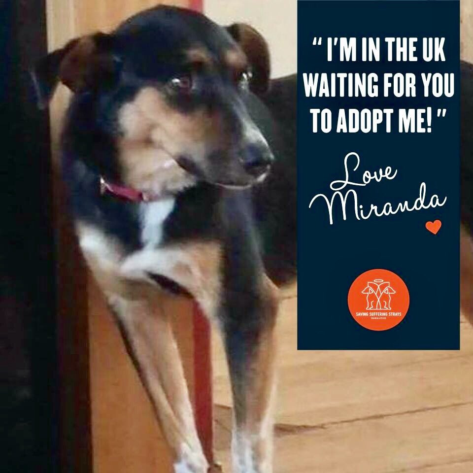 #URGENT #our MIRANDA in  needs an urgent FOSTER   #can you help? know anyone? @PeterEgan6 @jay7761 @mariasloughpics @LH69<br>http://pic.twitter.com/zuuH65tOTi