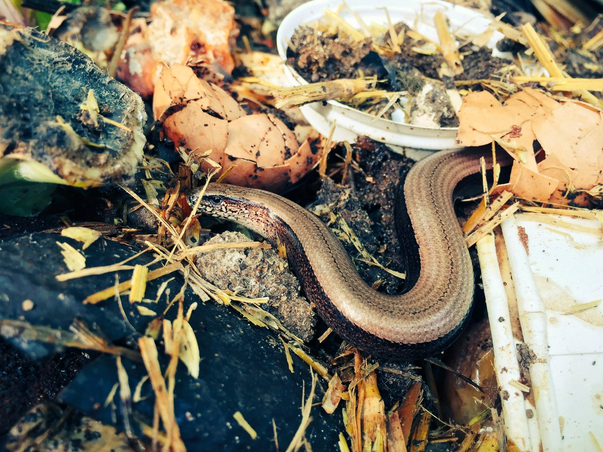 One of the compost bin slow worms is enjoying the compostable @brownsofse4 cups. #allotment @ARC_Bytes<br>http://pic.twitter.com/4K4sKJqNAp