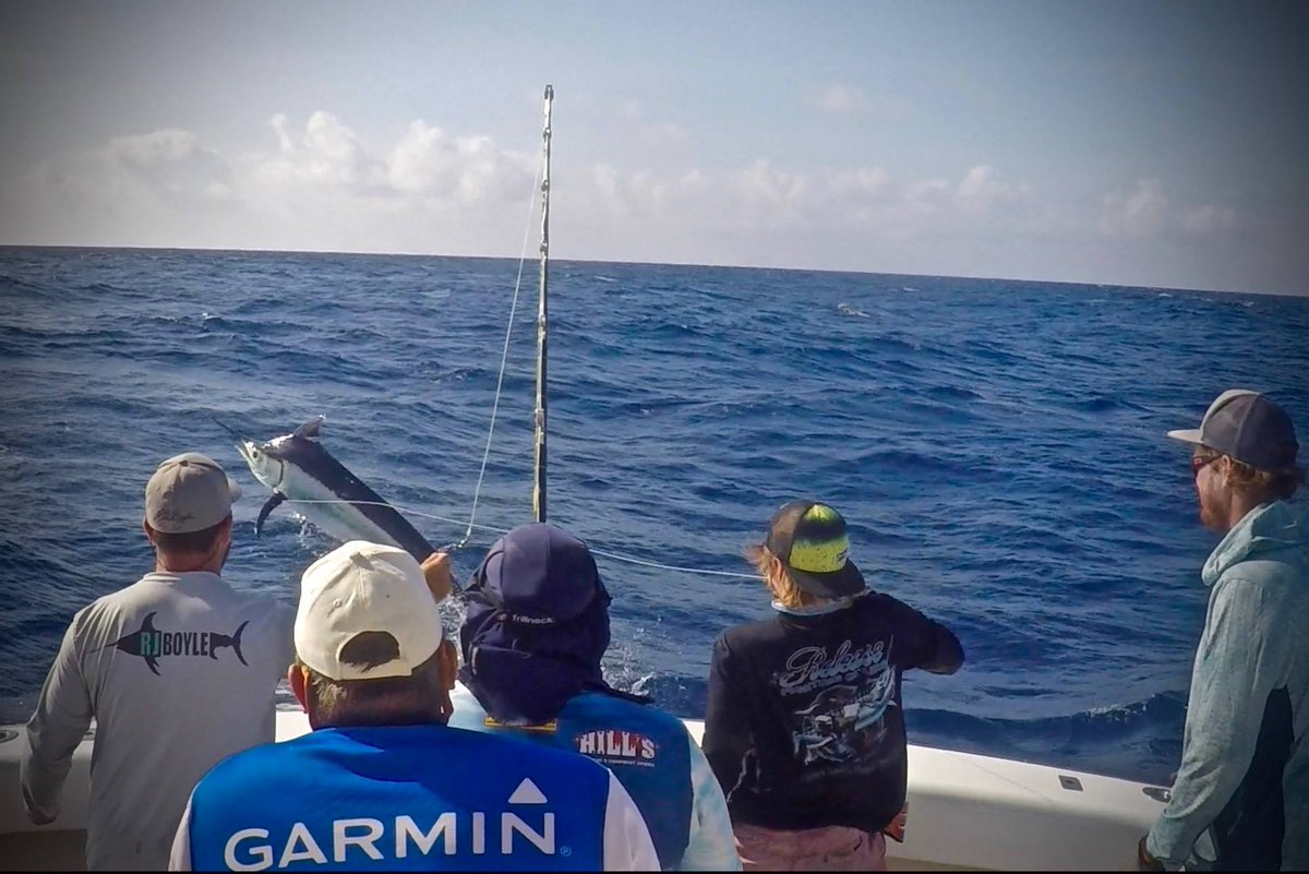 Cairns, Aus - Kanahoee released 11 Black Marlin over 7-Days.