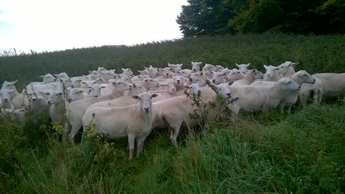 #Exlana flock for sale on MOD land, Salisbury plain tim@sig.uk.com for details. More females for sale on Exmoor  #easycare #sheep365 <br>http://pic.twitter.com/FPi9ff6at3